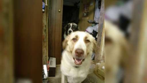Krásná štěňata KAOxSAO - Kříženec