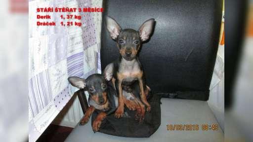 tříměsíční  pražský  krysařík pejsek s rodokmenem - Pražský krysařík