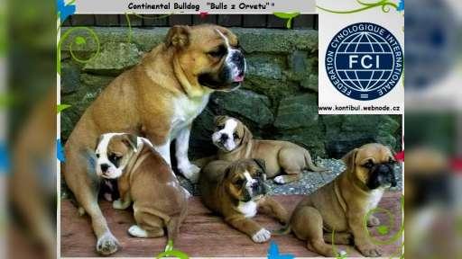 Kontinentální buldok-Continental bulldog s PP FCI ! - Anglický buldok (149)