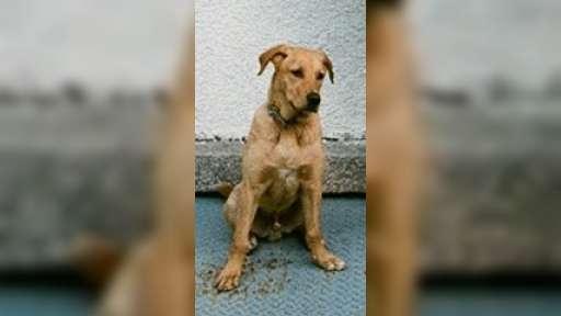 Labrador 8 měsíců, křížený, PRAHA - Kříženec
