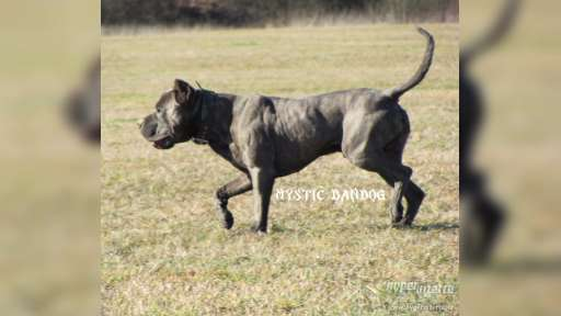 Americký bandog - Bullmastif (157)