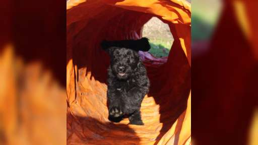 Briard - černá štěňátka - Briard (113)