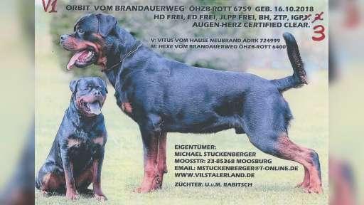 Rottweiler-štěňata - Rotvajler (147)