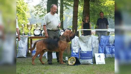 BLOODHOUND štenata - Bloodhound (084)