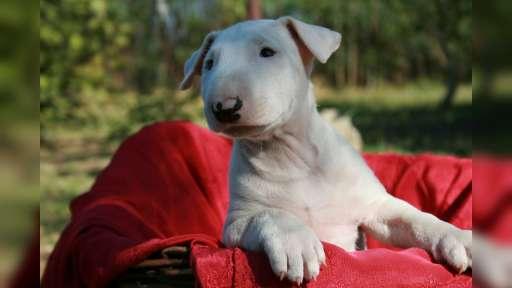 bulteriér štěně - Bulteriér (011)