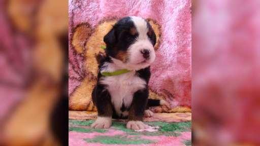 Bernský salašnický pes štěňátka s PP - Bernský salašnický pes (045)