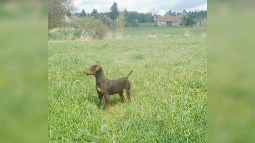 Prodám Německého loveckého teriéra bez PP - Německý lovecký teriér (Jagdteriér) (103)