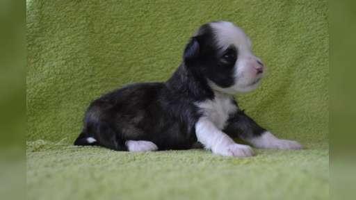 Čínský chocholatý pes štěňata s PP - Čínský chocholatý pes (288)