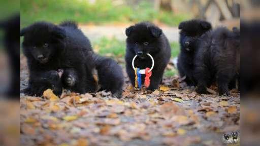 Německý špic velký černý prodám krásná štěňata sPP - Německý špic (097)