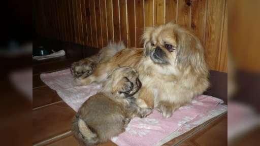 Prodám krásná štěňátka pekinéze - Pekingský palácový psík (207)