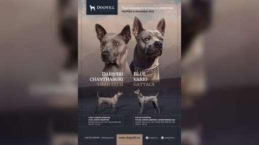 Thajský ridgeback - Exkluzivní modrá štěňata s PP - Thajský ridgeback (338)