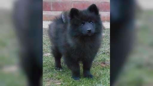 Německý špic velký černý prodám krásná štěňata s PP - Německý špic (097)