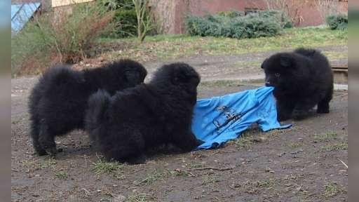 Německý špic velký černý - štěňata s PP - Německý špic (097)
