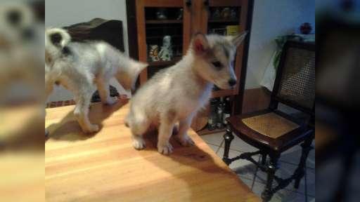 prodám štěně Aljaský malamut  - Aljašský malamut (243)