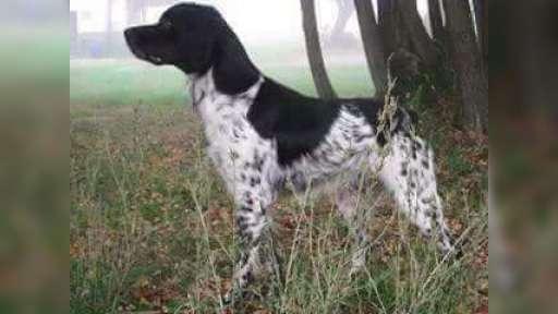 Bretaňský ohař - štěně - Bretaňský ohař (095)