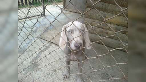 Prodám štěně Výmarského ohaře krátkosrstého - Výmarský ohař (099)