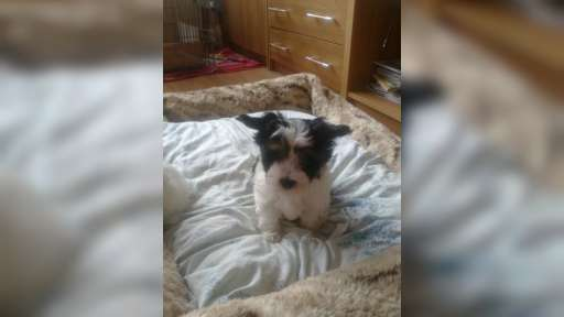Biewer Yorkshire Terrier  - Yorkšírský teriér (086)