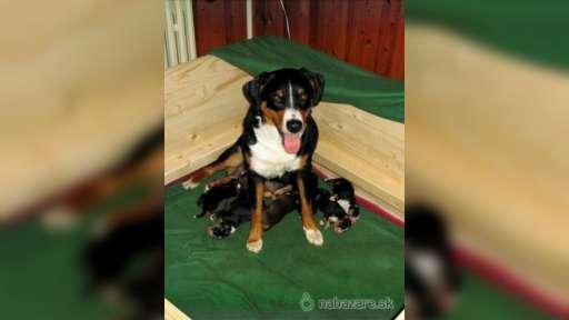 appenzellský salašnický pes - štěňata - Appenzellský salašnický pes (046)