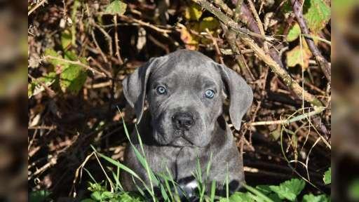Modrá a formentino štěňátka Cane Corso s PP - Italian Corso Dog (343)