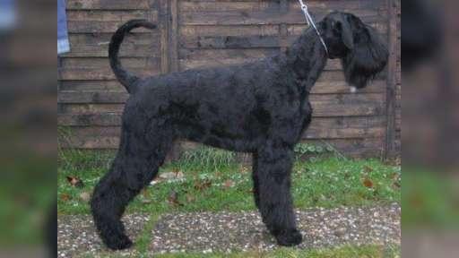 Knírač velký černý štěn. s PP - Knírač velký (181)