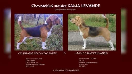Štěňátka Beagle (Bígl) s PP - Bígl (161)