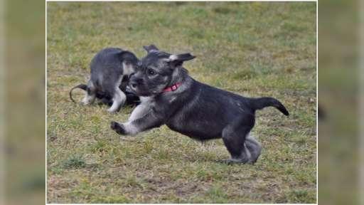 Prodej - štěně knírač střední pepř sůl - Knírač střední (182)