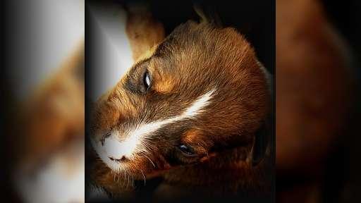 Prodám štěňatka - Americký pitbull teriér
