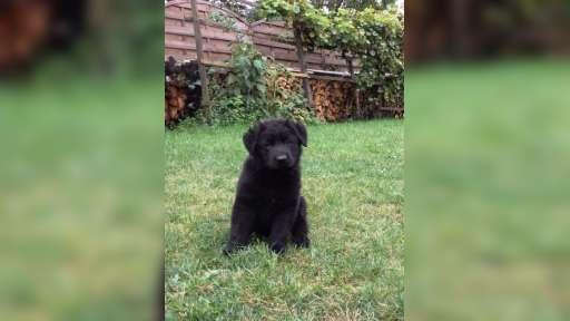 Německý ovčák s PP - černý pes na prodej - Německý ovčák (166)