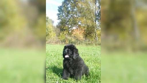 štěňata novofundlandského psa s PP - Novofundlandský pes (050)