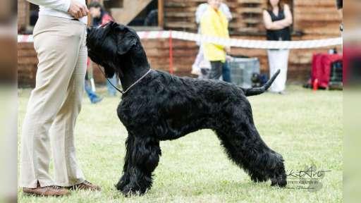 Velký knírač černý - štěňata - Knírač velký (181)