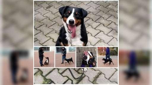 Appenzellský salašnický pes s PP - Appenzellský salašnický pes (046)