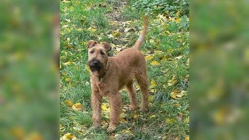 Irský teriér - štěně pes s PP - Irský teriér (139)