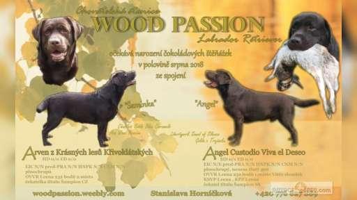 Čokoládová štěnátka Labrador retriever - Labradorský retrívr (122)