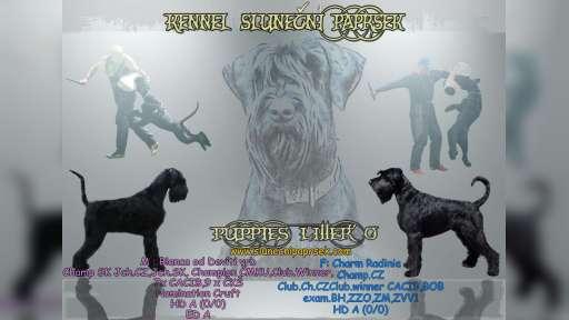Knírač velký černý s PP-štěně - Knírač velký (181)