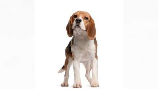 poptávám štěně bígla - Bígl (161)