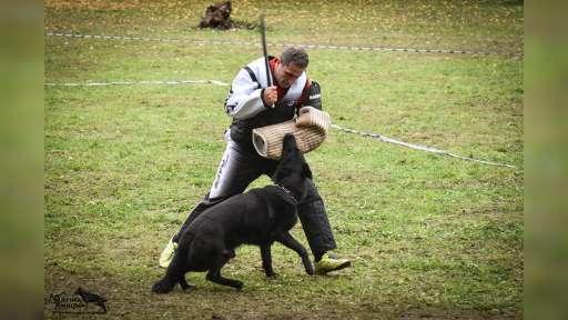 Německý ovčák štěńata vlkošedá a úplně celočerná - Německý ovčák (166)