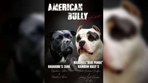 American Bully - Americký stafordširský teriér (286)
