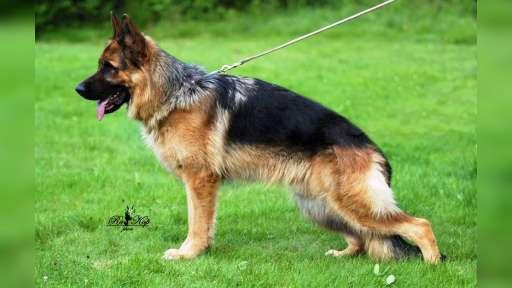 Německý ovčák s PP - mladý pes na prodej - Německý ovčák (166)
