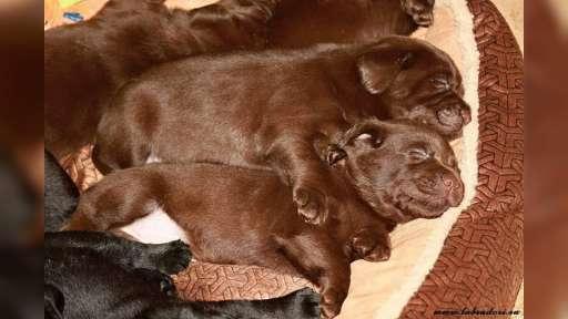 Štěňata čokoládová Labrador Retriever s PP - Labradorský retrívr (122)