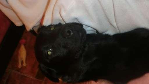 Černá fenka labradorského retrívra - Labradorský retrívr (122)