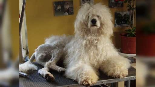 Portugalský vodní pes - Portugalský vodní pes (037)