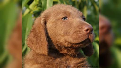 Chesapeake bay retriever s PP(podobný hn.LR) - Chesapeake Bay retrívr (263)