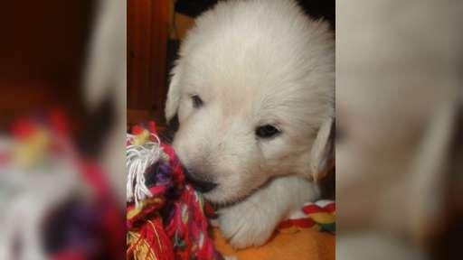 Prodám nádherné štěně Slovenského Čuvače ♂nebo♀ - Slovenský čuvač (142)