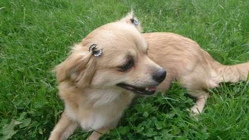 Luxusní štěnátka - čivava - Čivava (218)