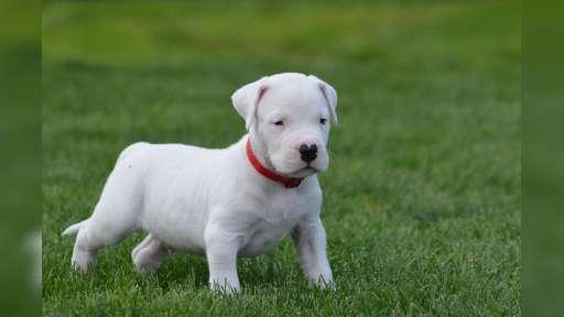 Argentinská doga (Dogo argentino )-štěňata - Argentinská doga (292)