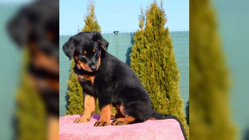 Beauceron - šteniatka - Beauceron (044)