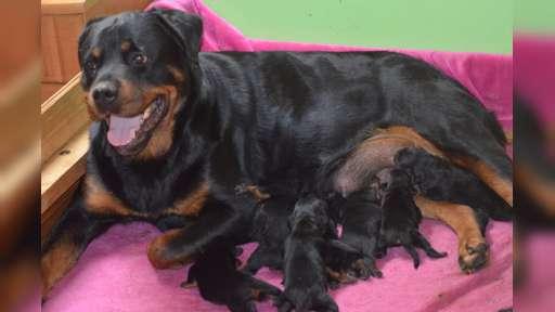 Rottweiler štěňata s pp - Rottweiler (147)