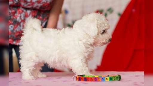 Boloňský psík s PP - Boloňský psík (196)