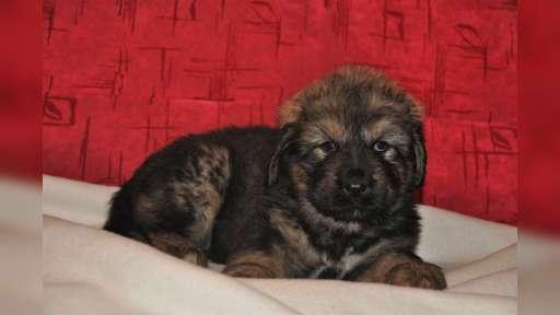 Tibetská doga - štěňata s PP - Tibetská doga (230)