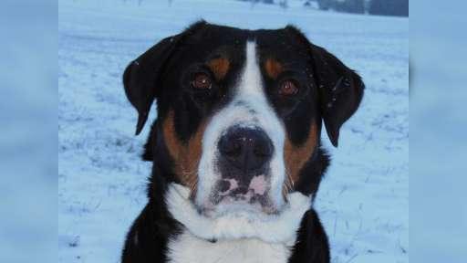 Štěňátka Velký švýcarský salašnický pes (VŠSP) - Velký švýcarský salašnický pes (058)